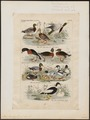 Anas boschas - 1845-1863 - Print - Iconographia Zoologica - Special Collections University of Amsterdam - UBA01 IZ17600371.tif
