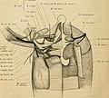 Anatomie des Frosches (1899) (18172124411).jpg
