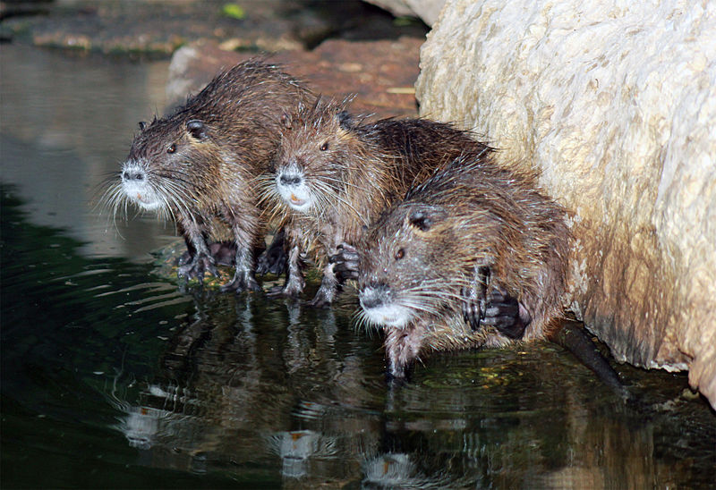 Who's Whiter: Badgers Or Muskrats?
