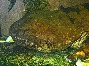 Chinese giant salamander - Portrait of a 30-year-old animal