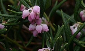 Description de l'image Andromeda-polifolia-flowers.JPG.