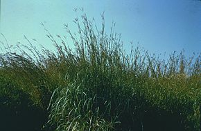 Description de l'image Andropogon_gerardii.jpg.