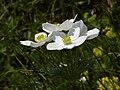 Anemonastrum narcissiflorum - Alpen-Berghähnlein.jpg