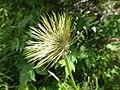 Anemone alpina, Stramaiolo.jpg