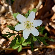 Anemone nemorosa close up.jpg