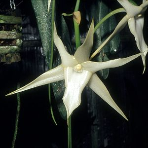 Wildlife of Madagascar - Comet orchid (Angraecum sesquipedale, the flowers of this orchid have a very long spur and are pollinated by a species of hawkmoth with a proboscis of matching length.