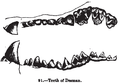 Animaldentition desmanamoschata.png