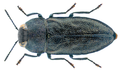 Anthaxia morio (Fabricius,1792).png
