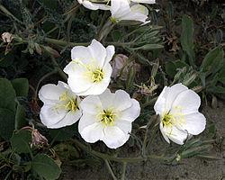 definition of onagraceae