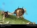 Aphid mummy - Aphidae - Braconidae (24484947320).jpg