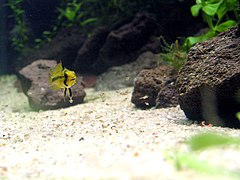 Apistogramma-Cacatouide-female-with-youngsters.jpg