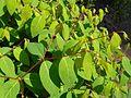 Apocynum androsaemifolium 2017-05-23 0650.jpg