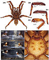 Aptostichus mikeradtkei anatomy.jpg