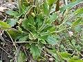 Arabis blepharophylla 2017-04-17 7761.jpg