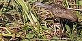Aramus guarauna (Limpkin) 27.jpg