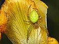 Araniella-cucurbitina-kuerbisspinne.jpg