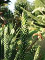 Araucaria humboldtensis (3).JPG