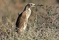 Ardeola ralloides - Squacco heron 06.jpg