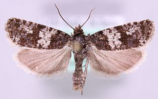 <i>Argyroploce noricana</i> Species of moth