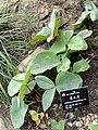Arisaema franchetianum - Kunming Botanical Garden - DSC03004.JPG