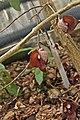 Aristolochia salvadorensis-2.jpg
