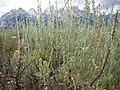 Artemisia arbuscula (9374180640).jpg