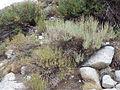 Artemisia rothrockii (7832388478).jpg