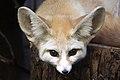 Artis Desert fox - eye to eye (5528498997).jpg