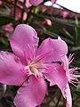 Arya.jepun.oleander.pink.2019.06.08.jpg