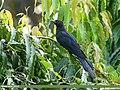 Asian Koel (Eudynamys scolopaceus) (36886577294).jpg