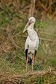 Asian openbill (Anastomus oscitans) 718.jpg