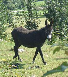 Equus africanus asinus - Wikipedia, la enciclopedia libre