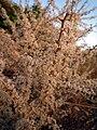 Asparagus albus 138.JPG