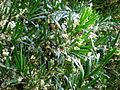 Asparagus falcatus 1c.JPG
