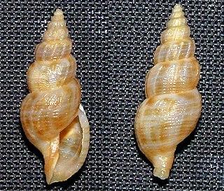 <i>Asperdaphne elegantissima</i> species of mollusc