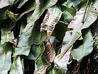 Asplenium scolopendrium americanum CR1953.jpg