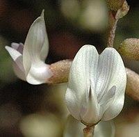 Astragalus applegatei.jpg