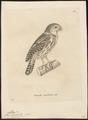 Athene infuscata - 1700-1880 - Print - Iconographia Zoologica - Special Collections University of Amsterdam - UBA01 IZ18400047.tif