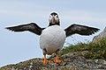 Atlantic Puffin (Fratercula arctica) - Elliston, Newfoundland 2019-08-13 (18).jpg