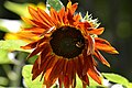 Atlas roslin pl Słonecznik zwyczajny 2919 7117.jpg