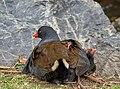 Australasian swamphen - AndrewMercer - DSC01039.jpg