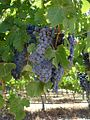 Australia Red Grapes (3406840850).jpg
