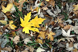 Yellow leaf from a Silver Maple Acer saccharin...