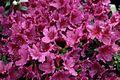 Azalea-Flowers-Pink ForestWander.JPG