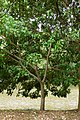 Búcaro (Erythrina fusca) (14367021057).jpg