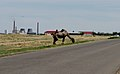 Bactrian Camel at Baikonur Space Center (7186555456).jpg
