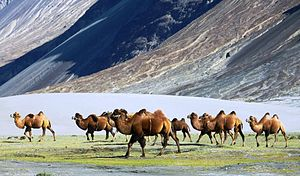 Bactrian camel - Bactrian camels in Nubra Valley, India