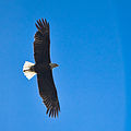 Bald Eagle over Yellowstone.jpg