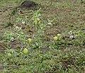 Balloon Cottonbush (Gomphocarpus physocarpus) (32244679655).jpg