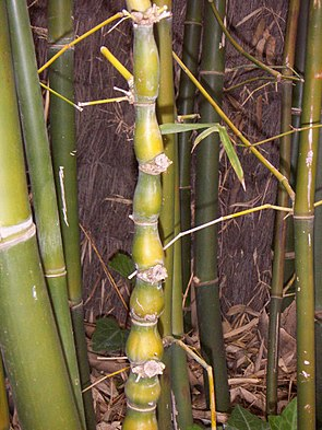 Bambusa ventricosa.JPG